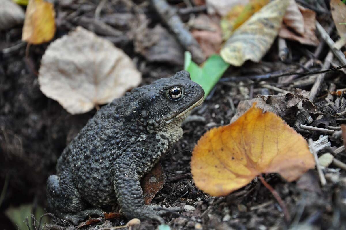 Обыкновенная жаба (Bufo bufo). Автор фото:Владимир Брюхов
