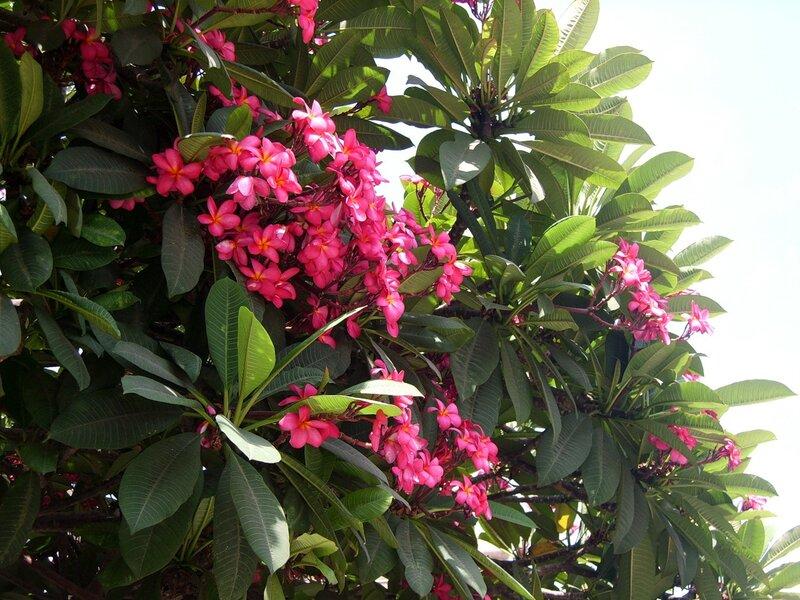 Магнолия в цвету