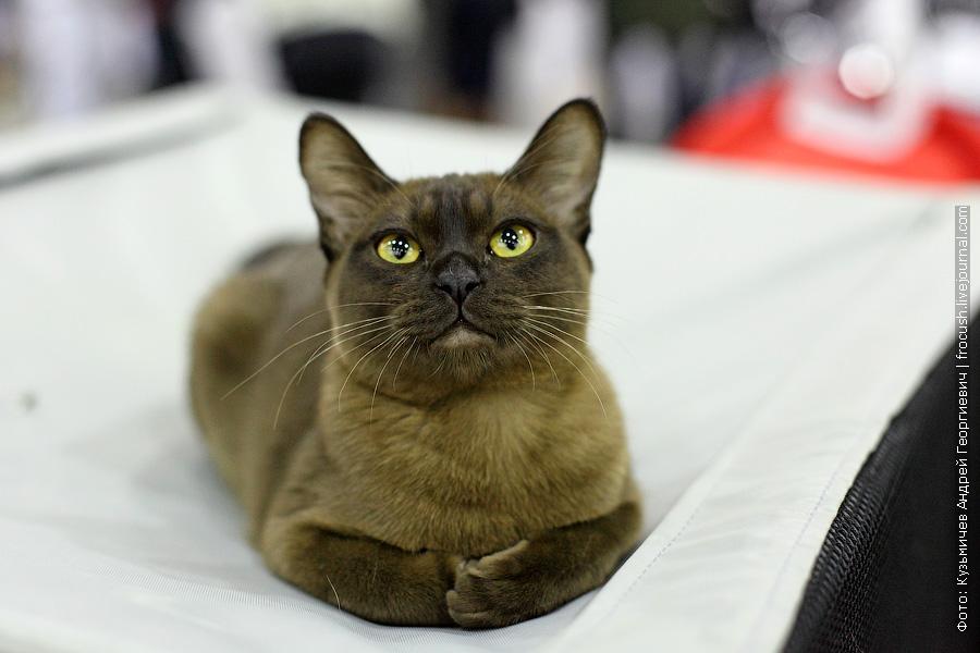 Кошка Murmurcat Kakao Бурма фото