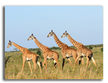 Кения. Group of giraffes in the Masai Mara Reserve (Kenya). Фото dibrova - Depositphotos