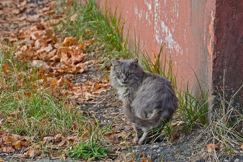 Серый кот на рыжей тропинке
