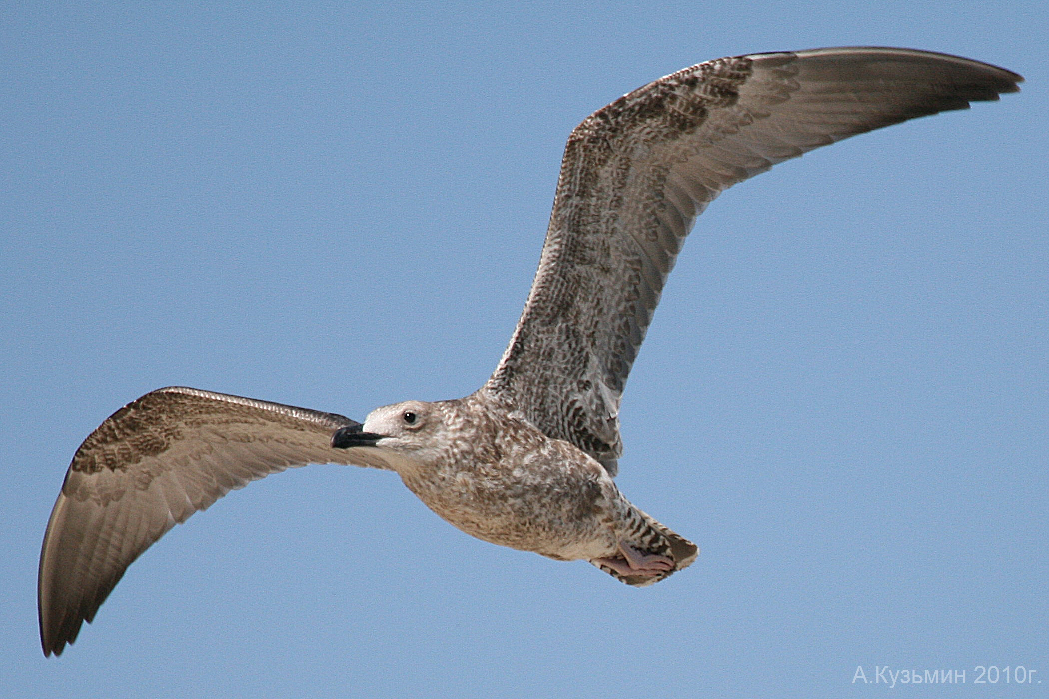 Морская чайка (Larus marinus)