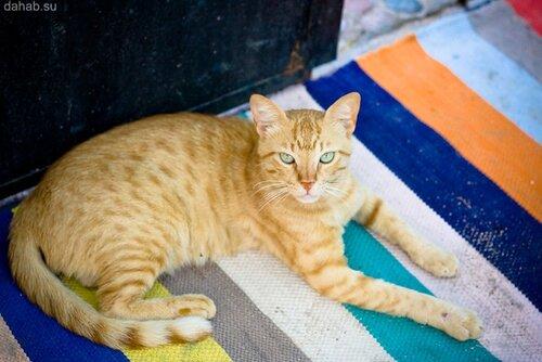 Фотография Дахабского кота