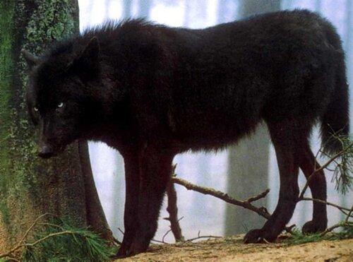 фото чёрных волков