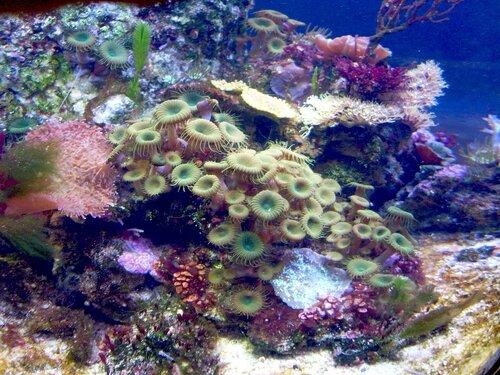 Морские анемоны...