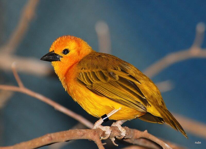 Лисий ткач - Taveta weaver (Ploceus castaneiceps)