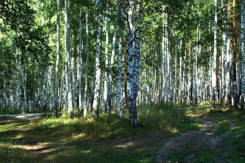от чего так в россии березы шумят картинки маслины