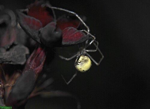 Эноплогната овальная / Enoplognatha ovata