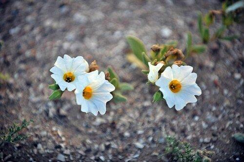 цветы Чили