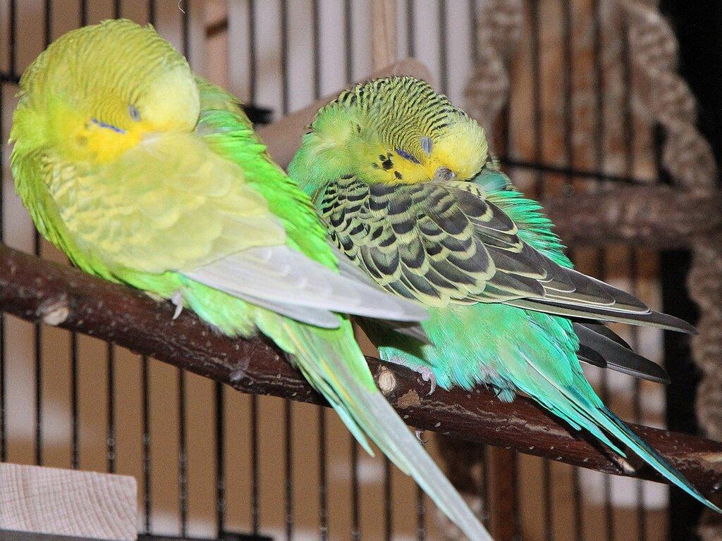 Что делать если попугай спит днём