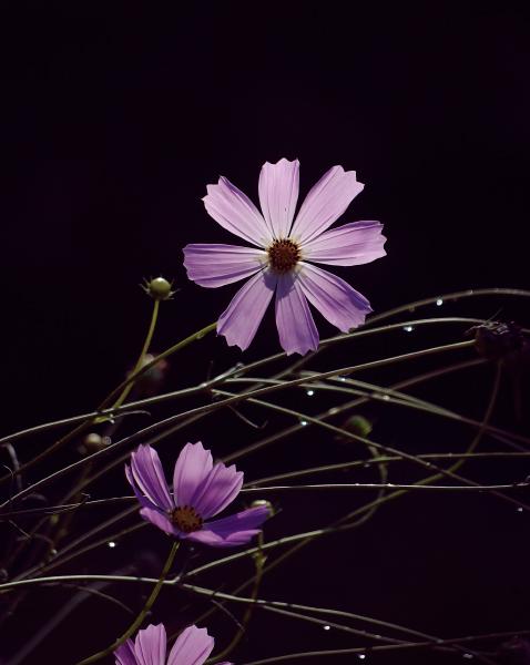 фото цветы космея