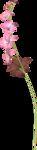 гладиолусы