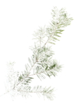mzimm_snowflurries_firbranch2_a.png