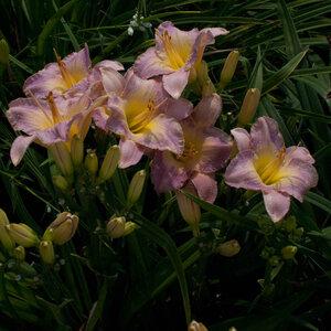Лилейники в Саду Дракона летом 2011г 0_63786_50dc08f6_M