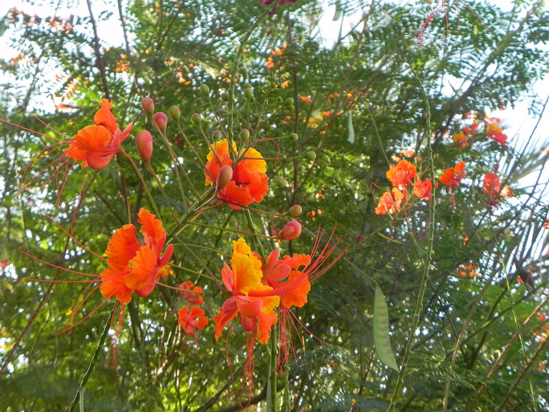 Цветы осени!Caesalpinia pulcherrima