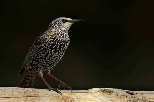 Michele Ferrato. Птицы Италии