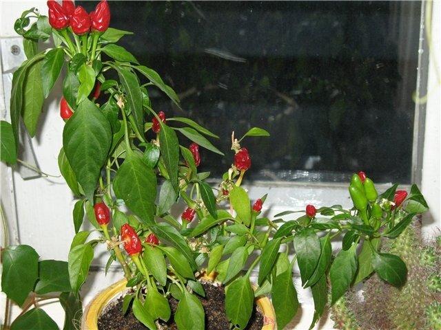 Большое значение в процессе выращивания здоровой, жизнеспособной рассады имеет подкормка.  Подкормка рассады перца на...