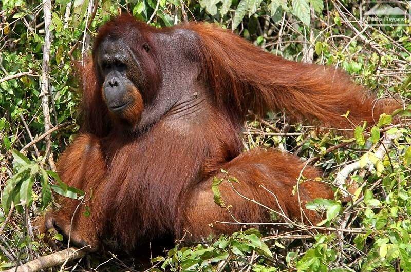 Орангутаны Калимантана