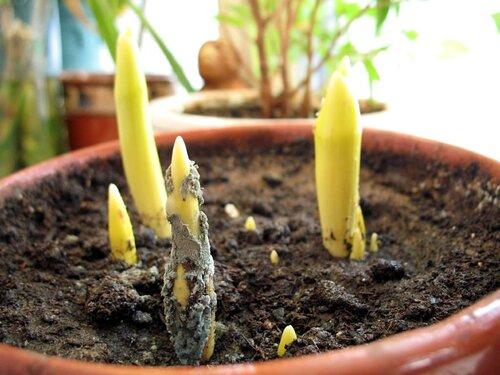 Сажать тюльпаны в домашних условиях