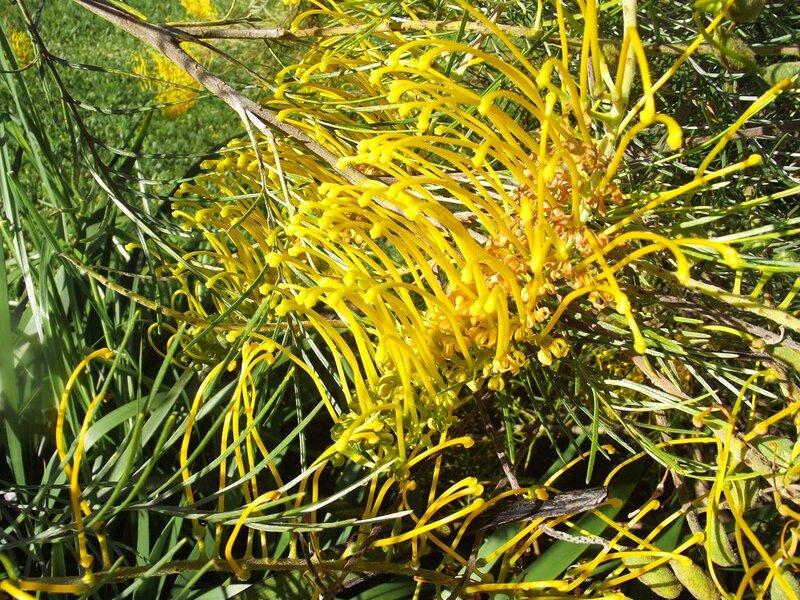 Желтая гревилия