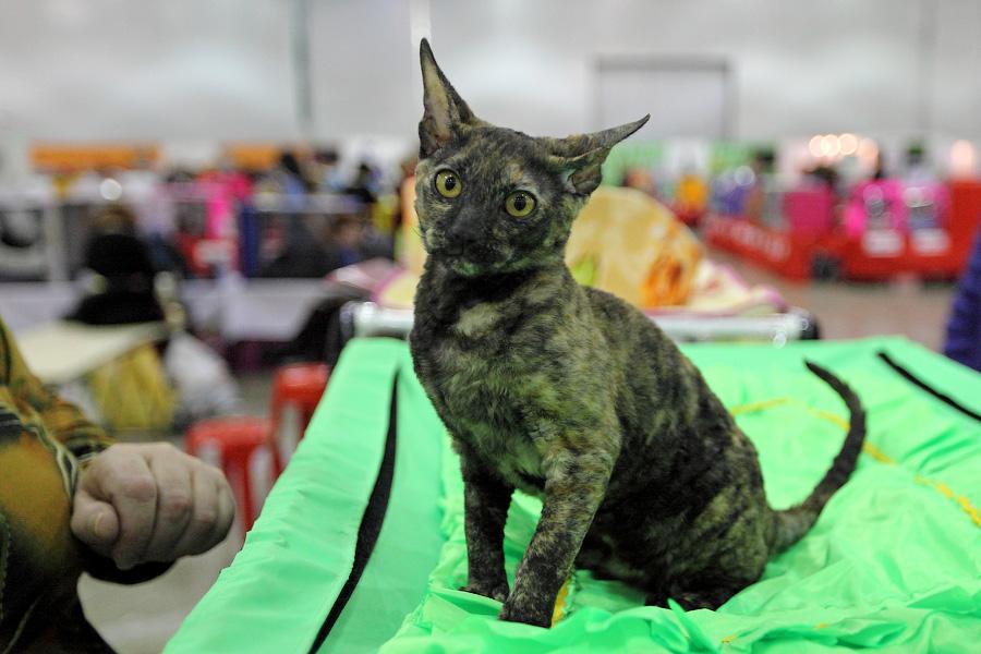 Еще один котенок Корниш-рекса Родился тоже 22 июля 2012 года