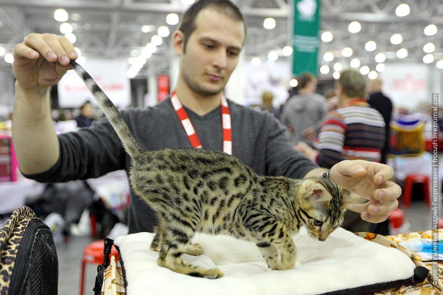 фото Котенок Бенгальской кошки