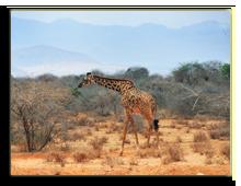 Кения. Масаи Мара. Фото znm666 - Depositphotos