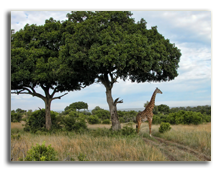 Кения. Масаи Мара. Фото jovannig - Depositphotos