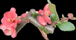 цветы яблонь