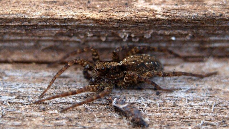 мохнатый паук 3