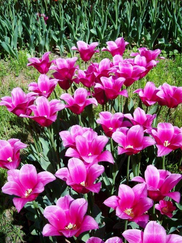 Выставка тюльпанов 2012 года на Певческом поле