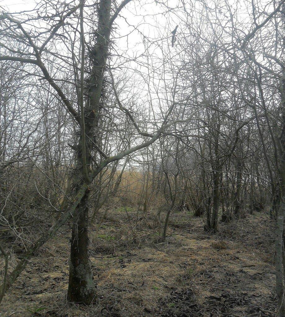 Ветви, весною ранней .... SAM_5913.JPG