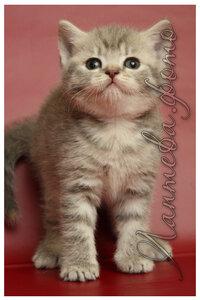 голубая черепаховая серебристая пятнистая британская кошка