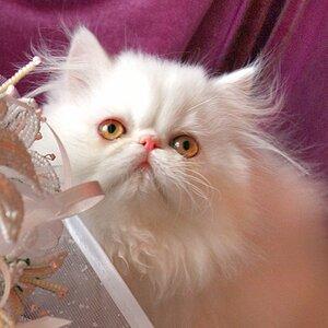 Best Kitten - 11 Heppi Hightborn FINE PEARL (Male) PER w 62 Гольмакова И.,