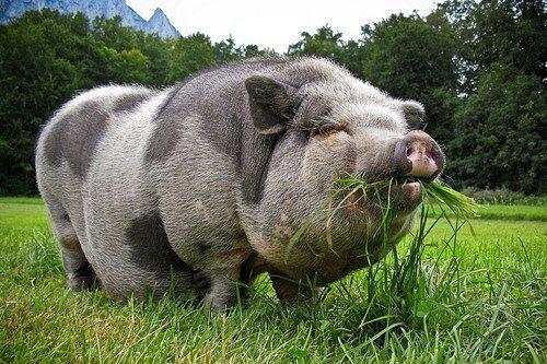 В Максатихинском районе занялись разведением вьетнамских вислобрюхих свиней
