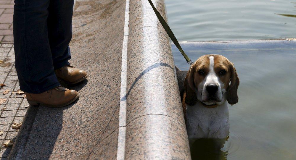 Собака охлаждается в фонтане во время жаркого дня в Минске
