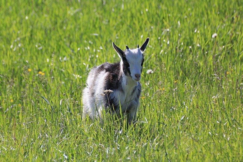 Козлёнок среди зелёной травы на солнечном лугу