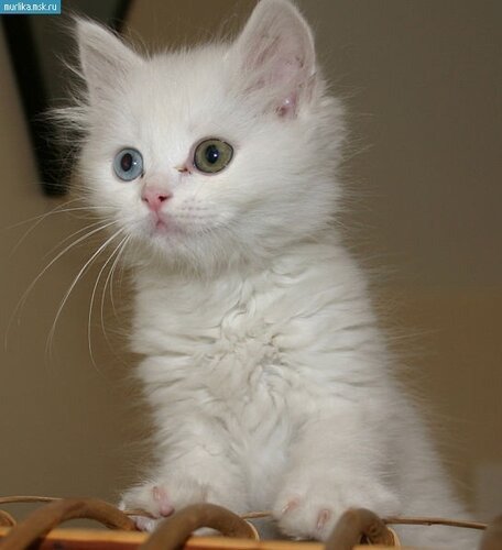 Порода кота ангорский
