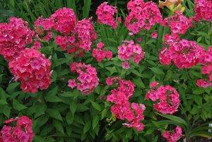 Флоксы, лилии и другие растюхи от amalex 0_63731_f61c4275_M