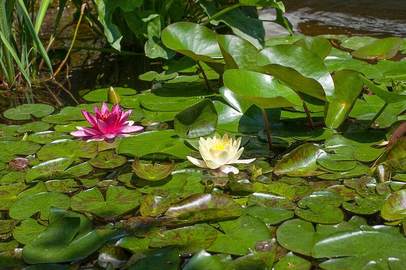 Нимфея. Никитский ботанический сад