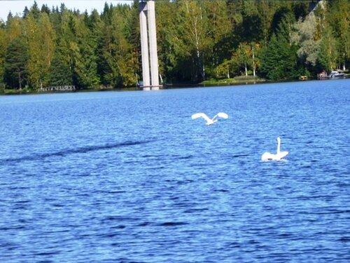 Лебеди на озере Уннукка