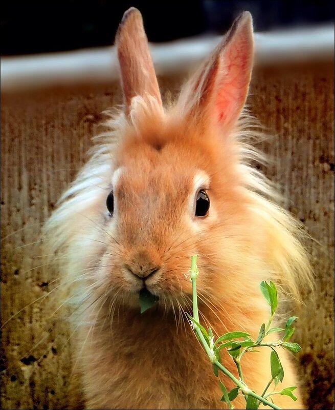 Чем кормить декоративного кролика - - фото 217744