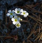 Цветы Ольхона