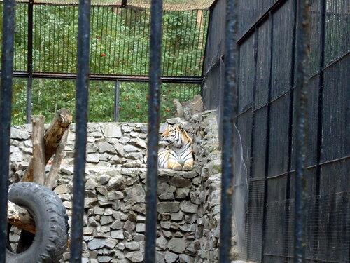 Новосибирский зоопарк. Тигр