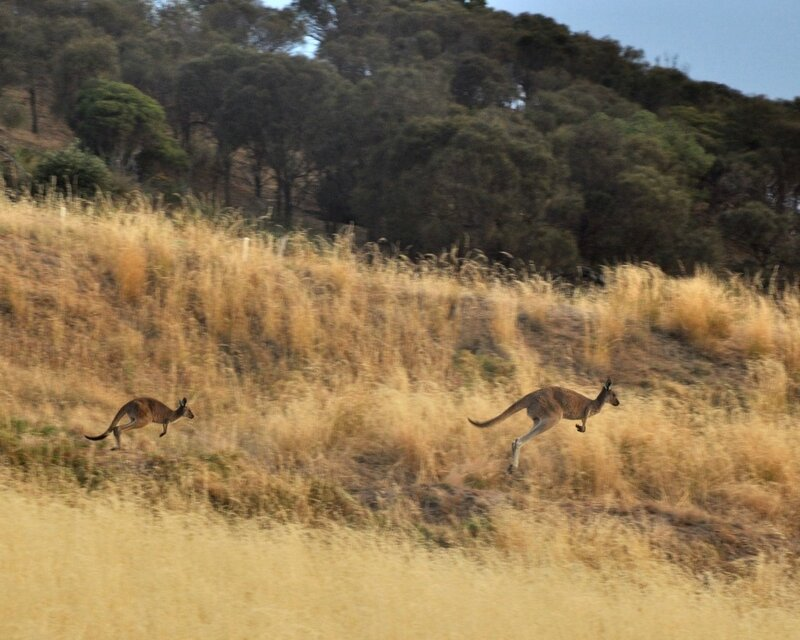 Бег кенгуру