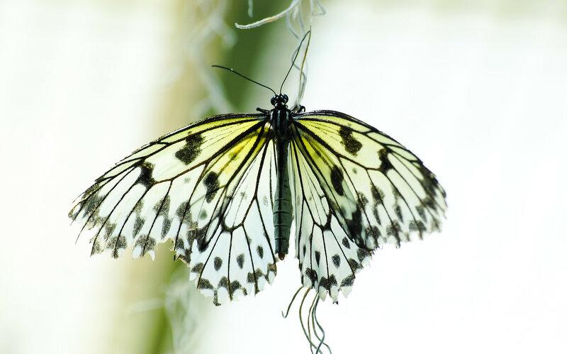 Бабочка Идея (Idea leuconoe)