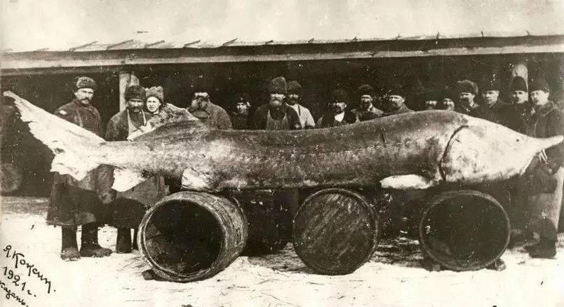 Рыба аллигатор.