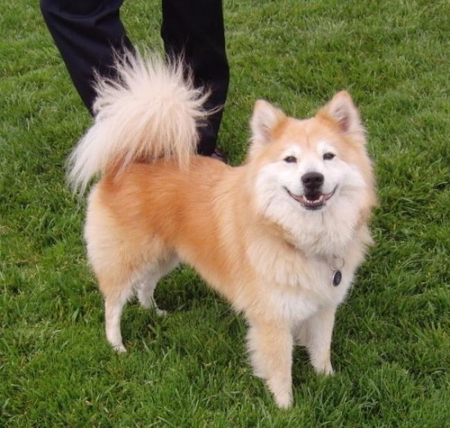 Такая удивительная собака получилась благодаря скрещиванию шпица иэкзотической сиба-ину.