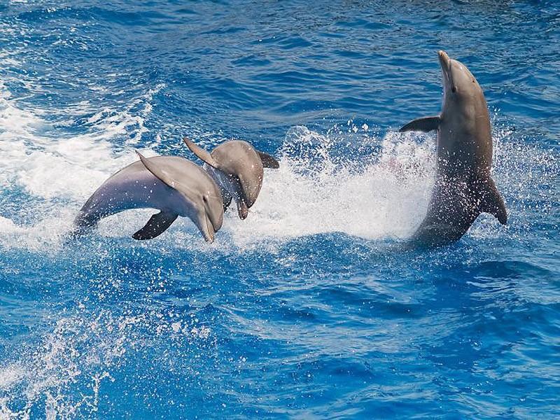У дельфинов слабое обоняние, но отличное зрение и абсолютно уникальный слух. Издавая мощные звуковые