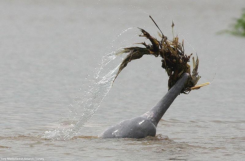 Невероятно романтический факт из «личной» жизни дельфинов — этологи, изучающие дельфинов Амазонки, о